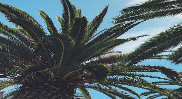 Top of palm tree in San Jose